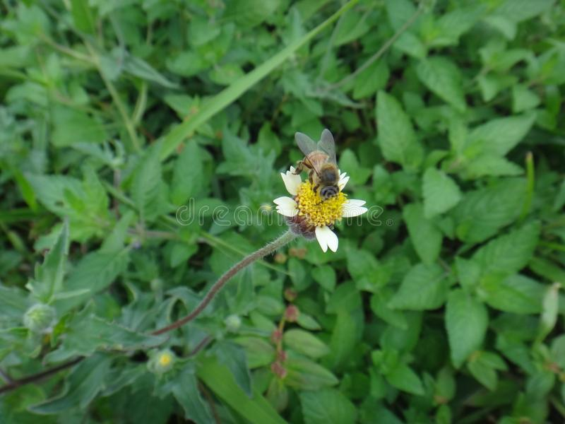 Tridax daisy and bee. Coat buttons, coatbottons, coatbuttons, dagad-phul, kanching baju, Mexican daisy, tridax , tridax daisy or wild daisy. - Tridax procumbens stock image