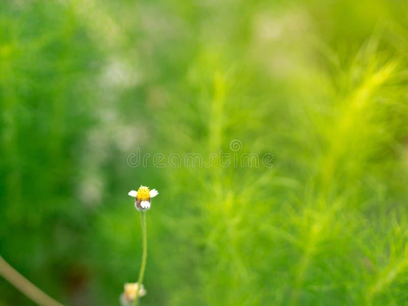Coatbuttons of de Mexicaanse bloem van madeliefjetridax procumbens in de tuin stock fotografie