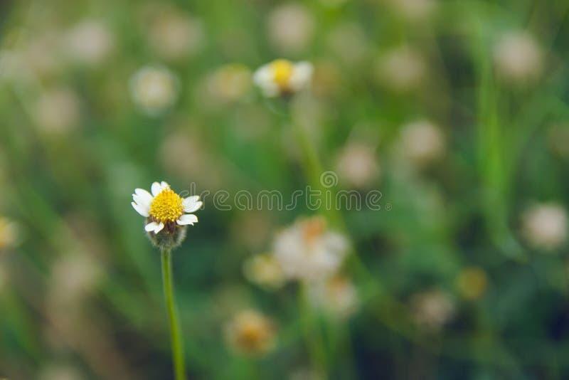 Coatbuttons, Mexicaans madeliefje, Tridax procumbens, Asteraceae, Wilde Daisy op onduidelijk beeldachtergrond stock foto's