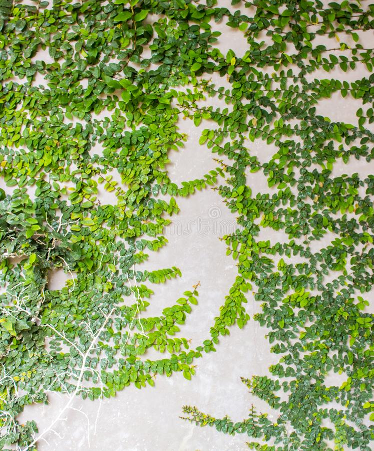 Coatbuttons Mexican daisy Ficus pumila plant on on the wall stock photos