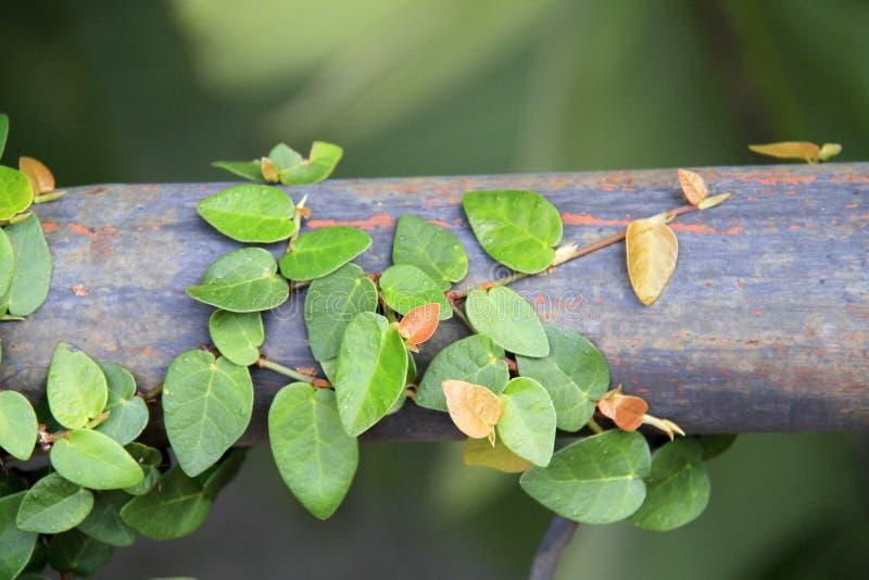 Coatbuttons oder mexikanisches Gänseblümchen stockbild