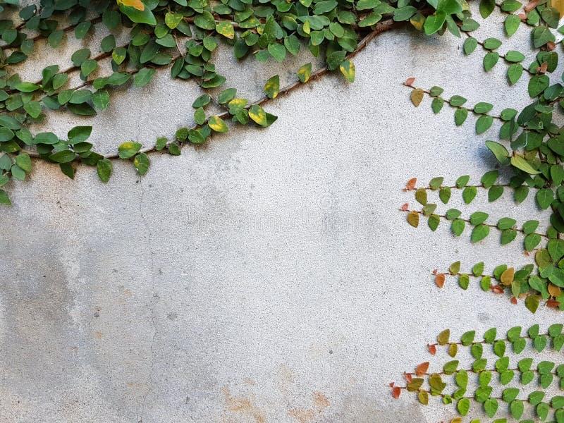 Coatbuttons ou margarida mexicana no muro de cimento, copyspace fotografia de stock royalty free