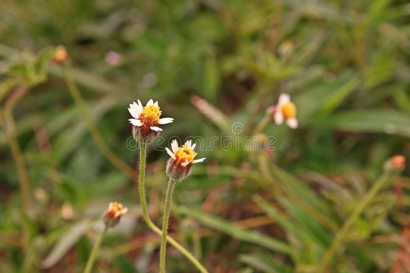 Coatbuttons of tridax madeliefje stock afbeelding