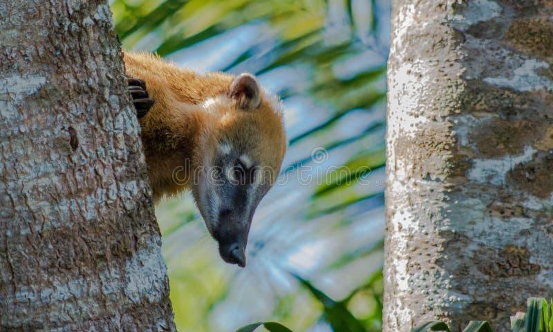 Coati στο Pantanal στη Βραζιλία, grosso Mato στοκ φωτογραφία με δικαίωμα ελεύθερης χρήσης