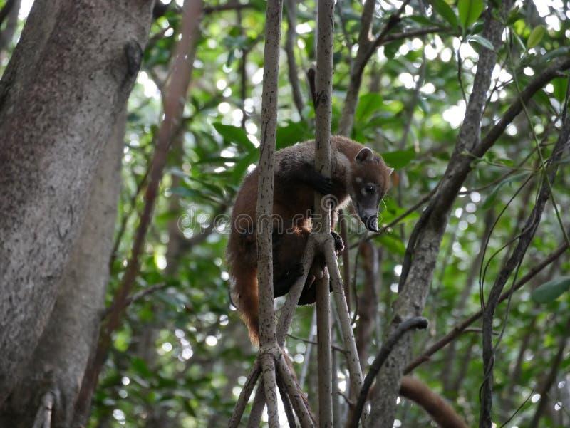Coati του Μεξικού στο μαγγρόβιο στοκ εικόνες