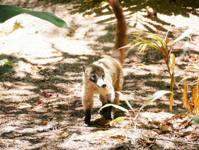 Coati του Μεξικού στο μαγγρόβιο στοκ εικόνα