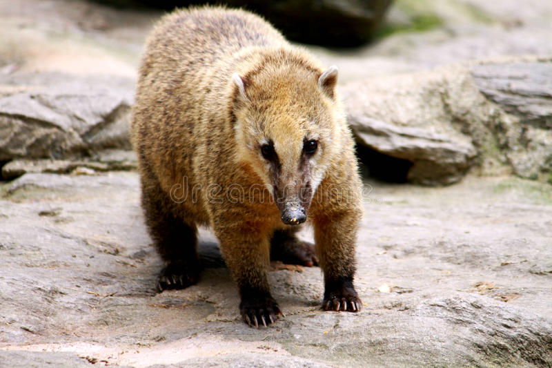 COATI. One huggable long nosed Coati. A racoon that looks like a bear stock photo