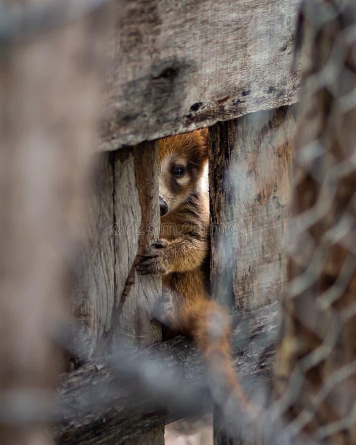 Coati bonito do bebê que olha através de um furo em uma cerca em México fotos de stock royalty free