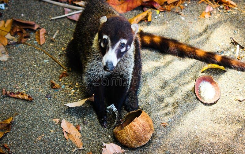 Coati Eating Coconut royalty-vrije stock afbeelding