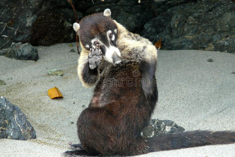 Coati em Manuel Antonio National Park, Costa Rica fotografia de stock royalty free