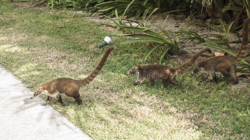 Coati family. Coati in resort hotel in Mexico , Riviera Maya stock image
