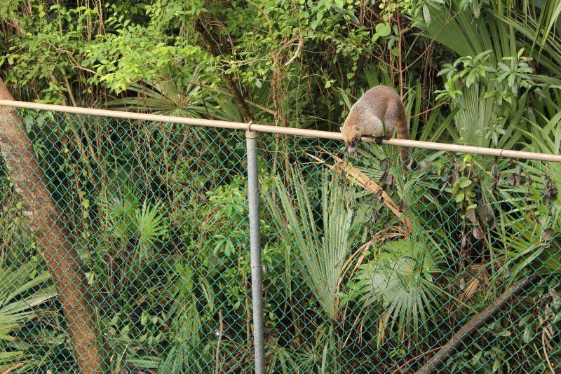 Coati on a fence stock photo