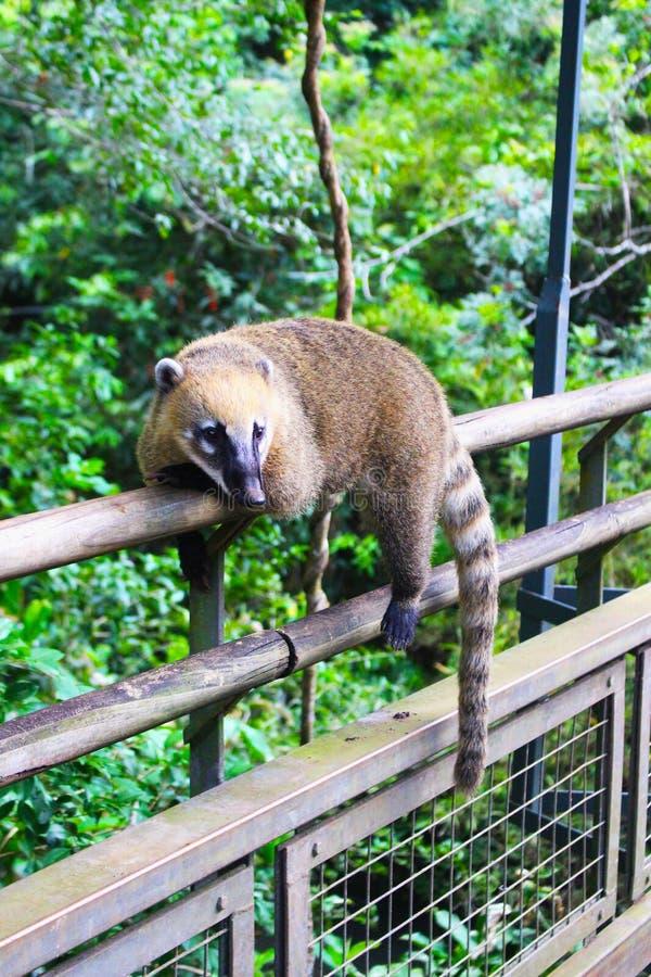 Coati in Iguazu Falls National Park royalty free stock photo