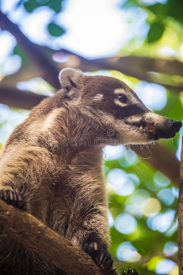 Free Coati Looking With Caution. Yucatan, Mexico Jungle. Royalty Free Stock Photography - 50483387
