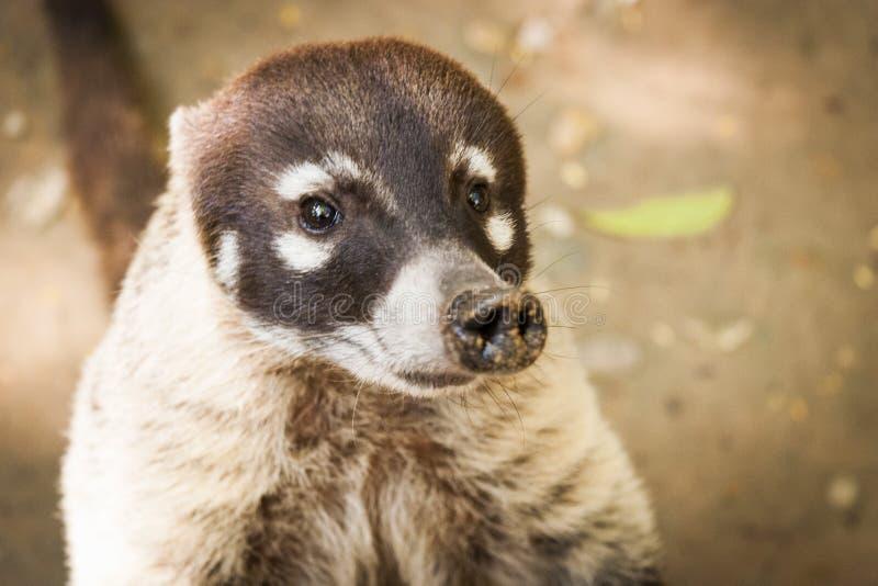 Coati, mapache en la comida que busca abierta Villahermosa, Tabasco, México fotos de archivo libres de regalías