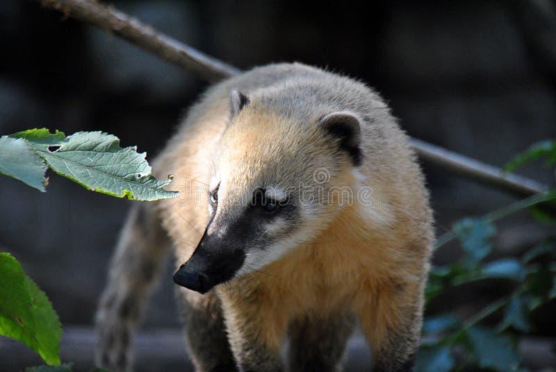 Coati-mundi bonito que anda em torno da exploração imagem de stock