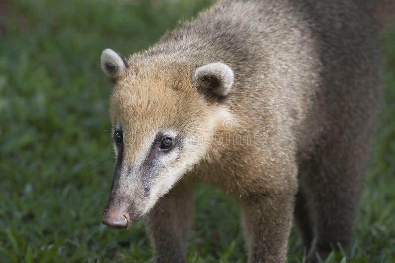 Coati. In the rainforest near Iguazu Falls stock photos