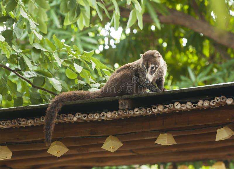 Coati Relaxing sulla cima del tetto fotografia stock