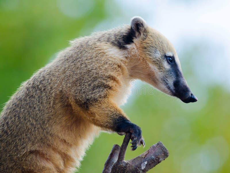 Coati Ring-tailed image stock