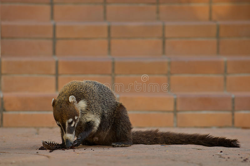 Coati Ring-tailed (nasua de Nasua). photographie stock libre de droits