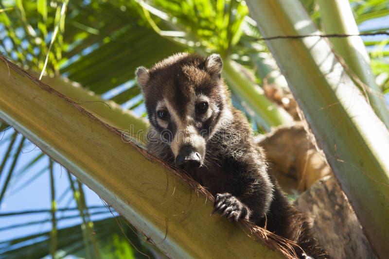 Coati Sitting in una palma fotografia stock libera da diritti