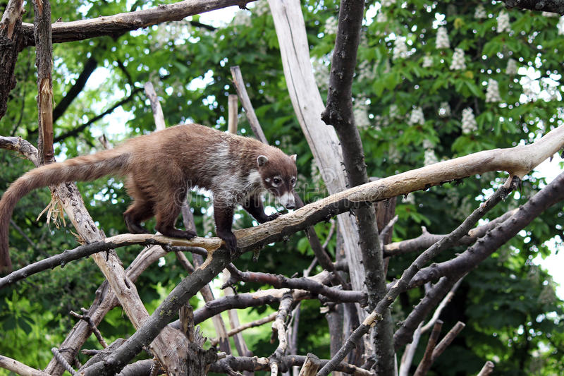 Coati. Standing on tree branches royalty free stock image