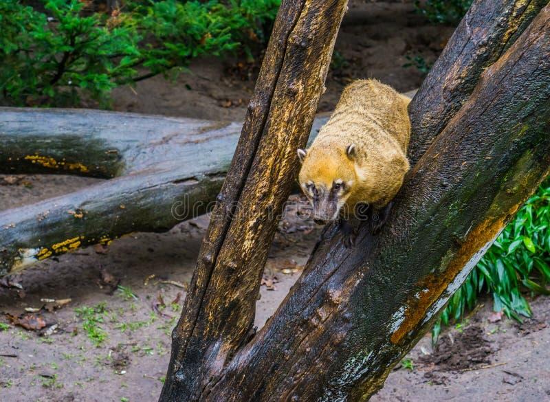 Coati sudamericani che si siedono in un albero, procione tropicale dall'America fotografia stock