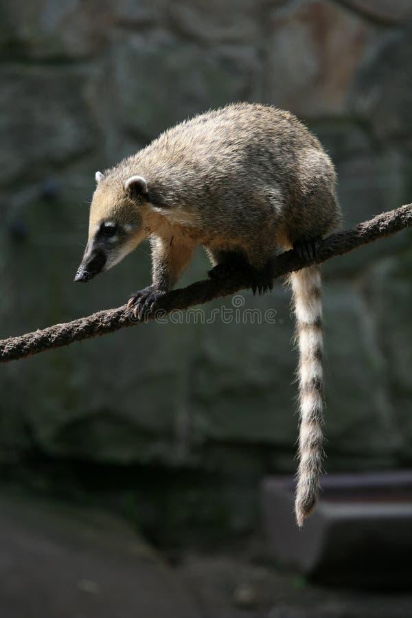 Coati suramericano imagen de archivo