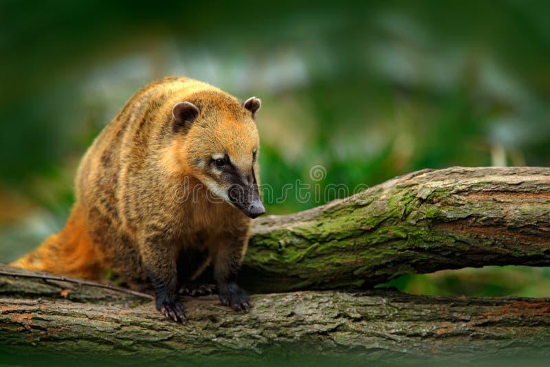 Coati suramericano, nasua del Nasua, en el hábitat de la naturaleza Animal de la escena tropical de la fauna del bosque de la nat fotos de archivo libres de regalías