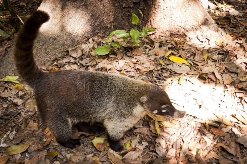 Coati tvättbjörn i den öppna sökande efter maten Villahermosa tabasco, Mexico royaltyfria foton