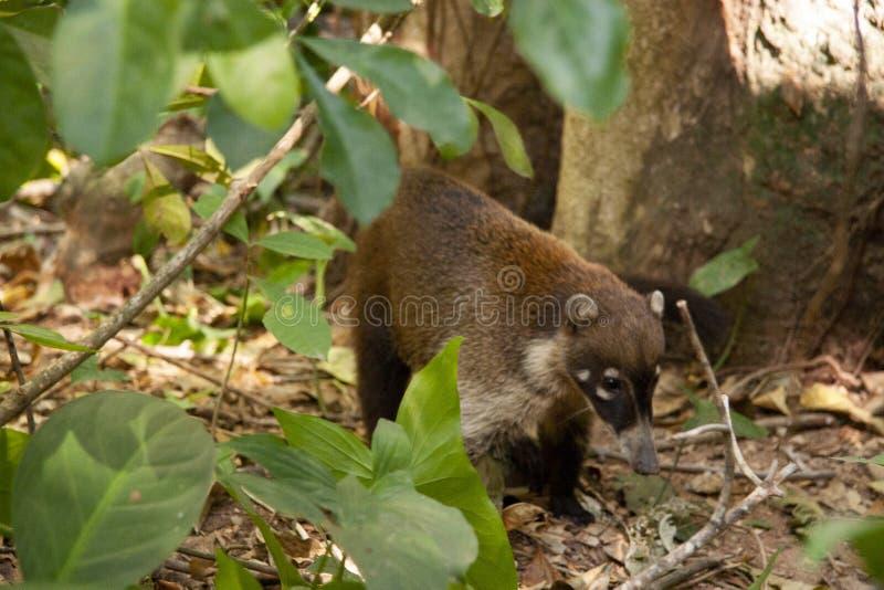 Coati tvättbjörn i den öppna sökande efter maten Villahermosa tabasco, Mexico arkivbilder