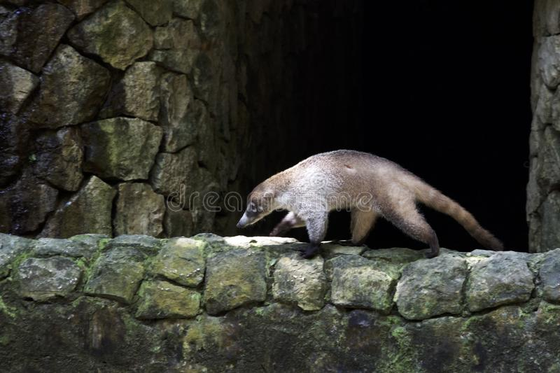 Coati walking on a stone wall stock images