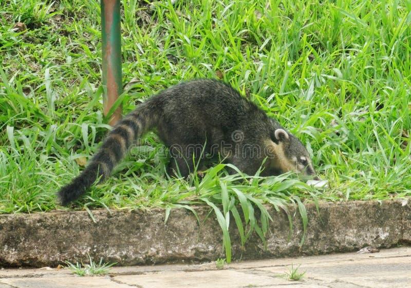 Coatie in the urban area. Coati animal living in urban area. GeneraNasuaandNasuella, coatimundi, Mexicantejon,cholugo,ormoncun, Costa stock images