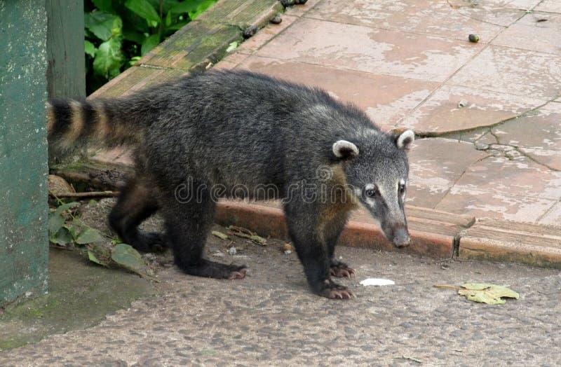 Coatie in the urban area. Coati animal living in urban area. GeneraNasuaandNasuella, coatimundi, Mexicantejon,cholugo,ormoncun, Costa royalty free stock images