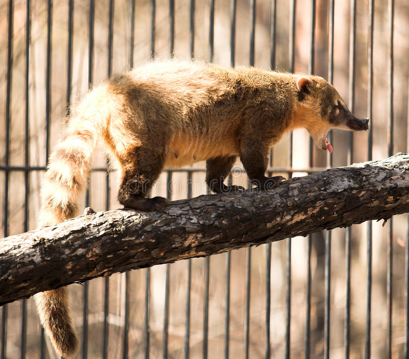 Coatimundi fotografia de stock royalty free