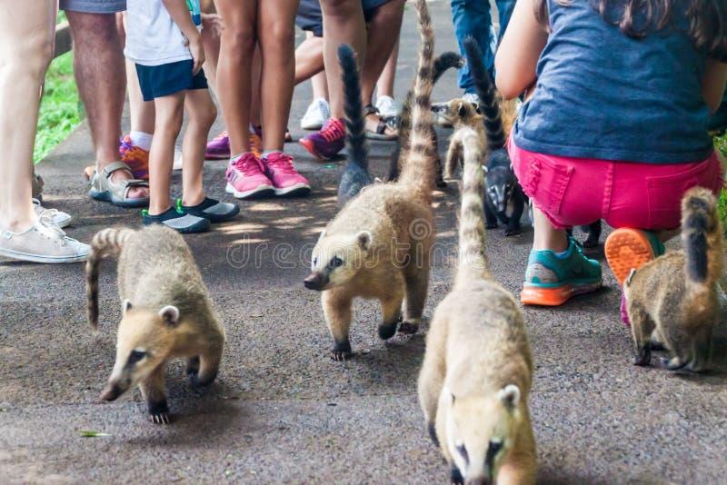 Coatis bland turister royaltyfri fotografi