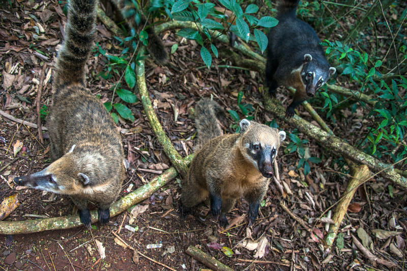 Coatis em quedas de Iguacu fotografia de stock