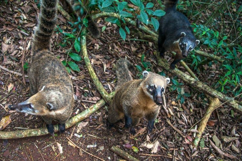 Coatis på Iguacu nedgångar arkivbild