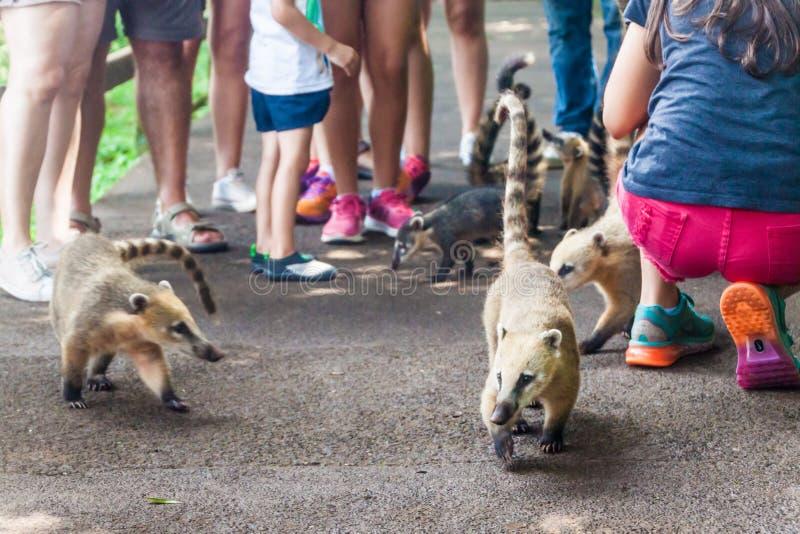 Coatis wśród turystów zdjęcie stock