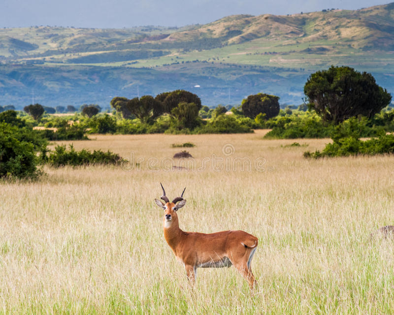 Cob Antelope - Queen Elizabeth National Park Uganda. Cob Antelope in Queen Elizabeth National Park Uganda with the Rwenzori mountains in the background royalty free stock image