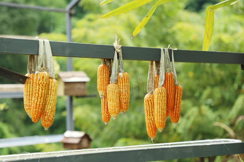 Cob corns hanging, outdoor day light, agriculture and harvesting season. stock photos