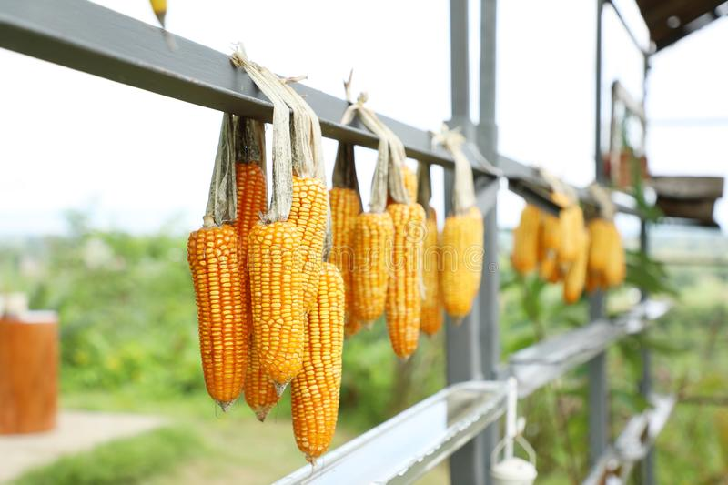 Cob corns hanging, outdoor day light, agriculture and harvesting season. royalty free stock image