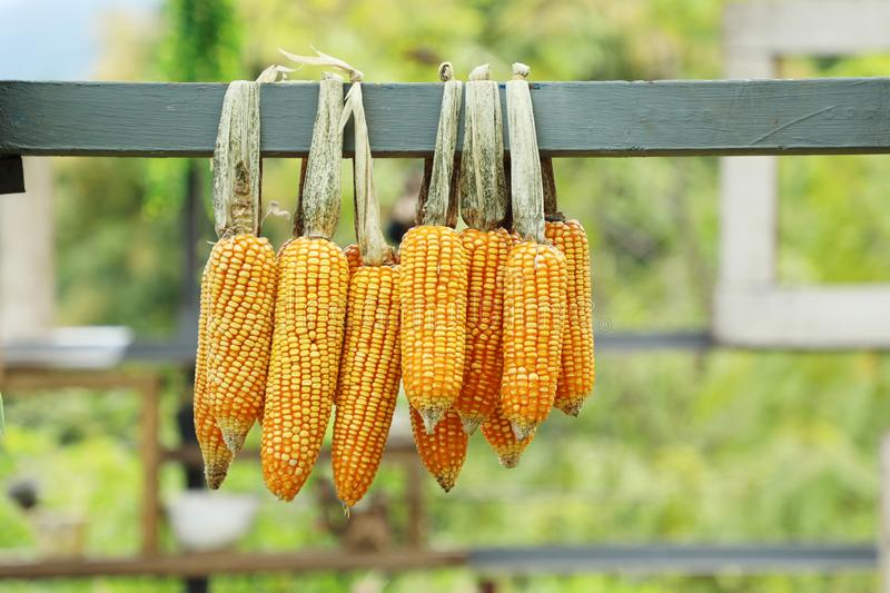 Cob corns hanging, outdoor day light, agriculture and harvesting season. stock photography