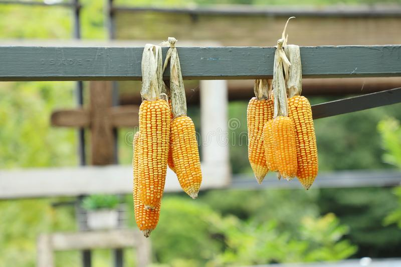 Cob corns hanging, outdoor day light, agriculture and harvesting season. stock images