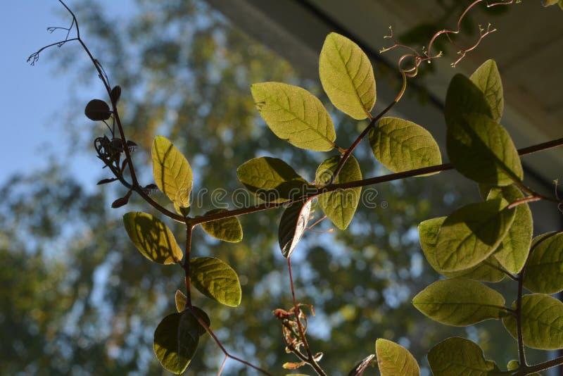 Cobaea叶子 与上升的植物的阳台绿化 库存照片