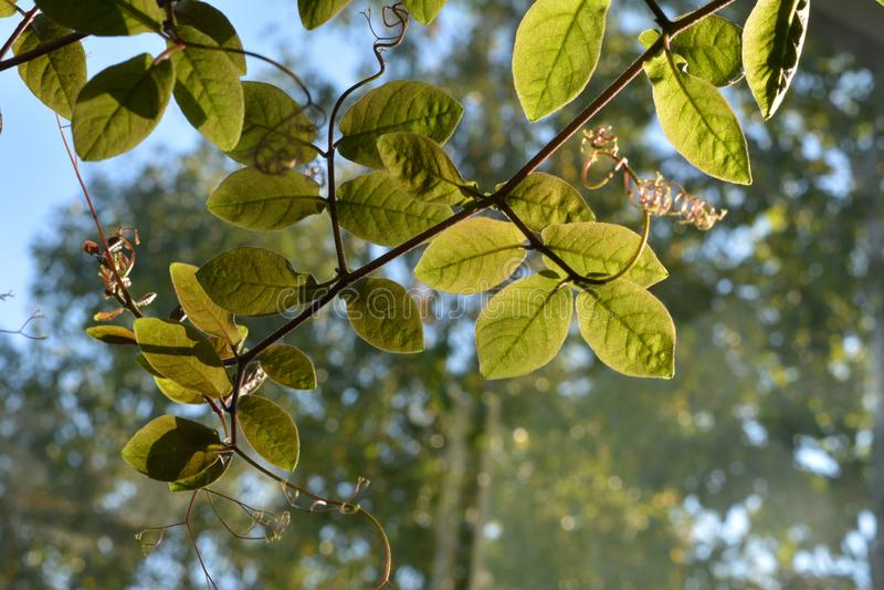 Cobaea在树被弄脏的背景离开窗口外 好日子在阳台的小庭院里 库存照片