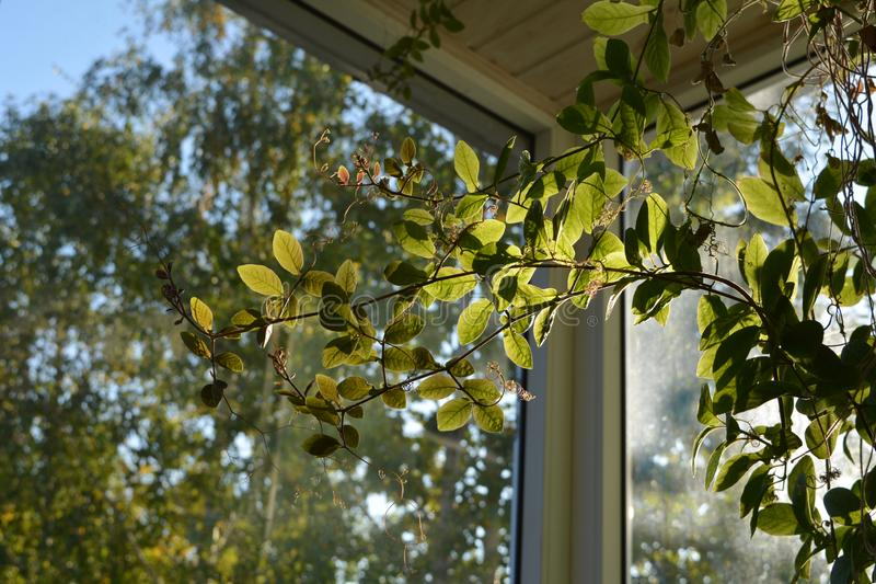 Cobaea in balcony greening. Beautiful climbing plant with green leaves.  royalty free stock photo