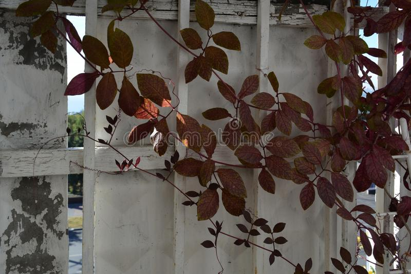 Cobaea plant in balcony greening. Red leaves on the background of balcony railing.  royalty free stock photography