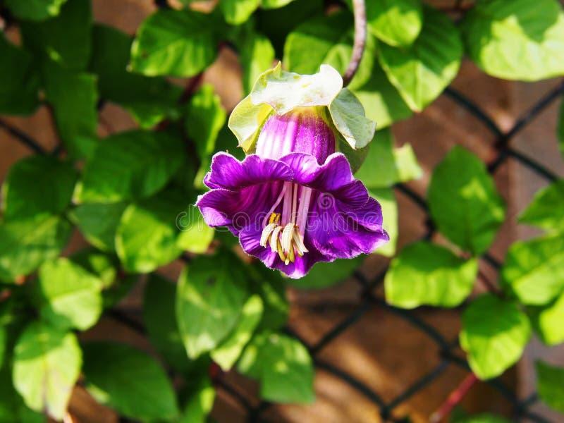 Cobaea scandens 免版税库存照片
