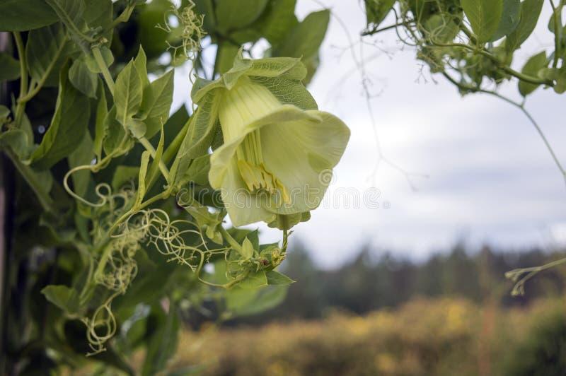 cobaea scandens f绿色花  空降阵地 免版税库存照片